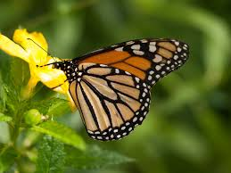 monarch butterfly mexico migration hits all time low u2013 science world