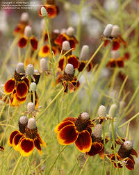 native mexican plants ratibida columnifera prairie coneflower mexican hat colorado