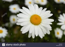white flowers of ox eye daisy or common daisy asteraceae