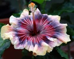 how to care for hibiscus plants hibiscus coupon codes and coupons