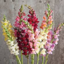 snapdragon flowers rocket mix f1 snapdragon seed johnny s selected seeds