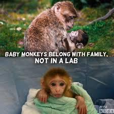 Baby Monkey Meme - peta kids in labs baby monkeys are often torn from facebook