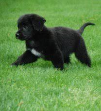 australian shepherd or golden retriever pet rescue