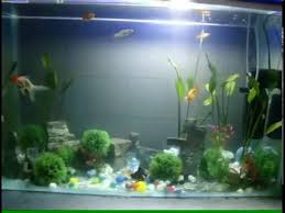 fancy goldfish and micky mouse platy fish tank