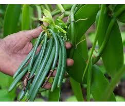 vanilla orchid vanilla planifolia vainilla verdadera