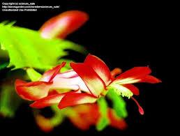 view picture of thanksgiving cactus cactus crab cactus