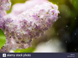 lilac flowers of light purple color macro stock photo royalty