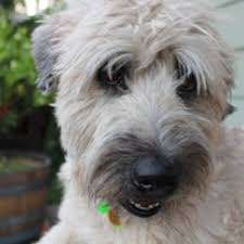 wheaten haircuts hairdos for hounds pet groomers 21043 geyserville ave