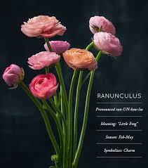ranunculus flower flower glossary ranunculus design sponge