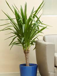 Low Light Indoor Trees Best 25 Yucca Tree Ideas On Pinterest Small Palm Trees