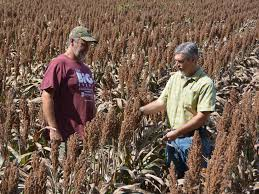 grain sorghum growers practice lessons learned mississippi state