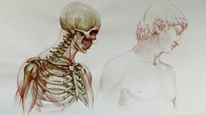 human anatomy for figurative artists video course anatomy