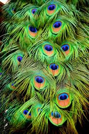115 best peacock images on pinterest peacock feathers drawings 115 best peacock images on pinterest peacock feathers drawings and peacock art