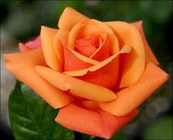 orange roses orange unique roses orange varieties orange roses