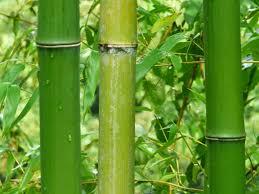 sorte de bambou d u0027égouts et des couleurs le mont aso la plus grande caldeira du