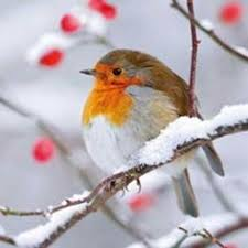 red robin in snow google search wings and feathers pinterest