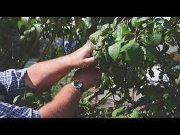Blackmoor Fruit Trees - summer pruning of fan trained fruit trees youtube