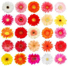 gerbera daisies gerbera in bulk theflowerexchange