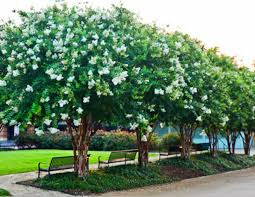 small ornamental evergreen trees flowering trees small ornamental