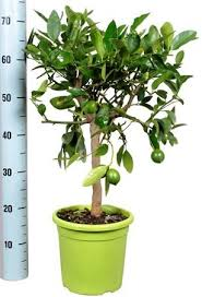 beautiful citrus lime tree ideal gift citrus fragrance and