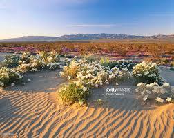 flowers growing on dessert landscape anza borrego desert state