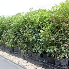 native hedging plants uk pot grown portuguese laurel hedge pallet deals wholesale plants