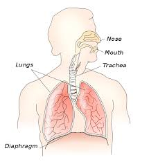 Picture Of Anatomical Position Diaphragm Human Thorax Location Anatomy Function And Position
