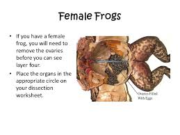 frog dissection northridge middle ppt video online download