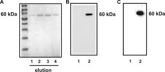Flag Tag Murine Bactericidal Permeability Increasing Protein Inhibits The