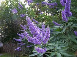 butterfly bush this is really a tree and blooms about the same