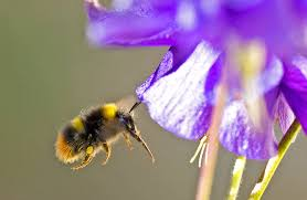 bumblebee grooming u2013 ray cannon u0027s nature notes