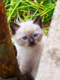 Taking Care Of A Blind Cat Siamese Cat Breed Information Behavior Pictures And Care Cattime