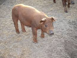 62 best duroc pigs images on pinterest livestock piglets and
