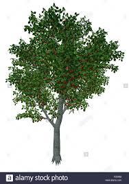 sweet or wild cherry prunus avium tree isolated in white