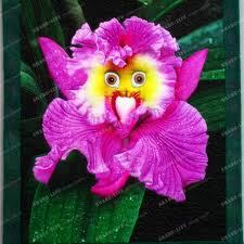 monkey orchid 100pcs 5 kinds monkey orchid seeds monkey orchid bonsai
