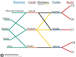 Dermatomes Map The Brachial Plexus Sections Branches Teachmeanatomy