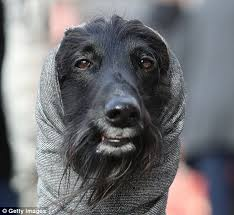 afghan hound snood thousands of dogs arrive at birmingham u0027s nec for crufts daily