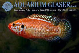 hemichromis sp neon aquarium glaser gmbh