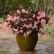 begonia flower begonia megawatt bronze leaf pink f1 harris seeds