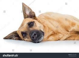 belgian shepherd kinds german shepherd breed dog lying on stock photo 353361890