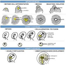 Reproduction In Flowering Plants - sexual reproduction in flowering plants the process of open i