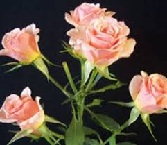bulk roses wholesale bulk discount cut spray roses