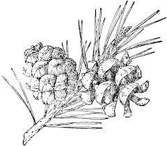 pinyon pine cone clip art photo coloring pinterest pine cone