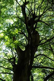 Trees Worldwide Researchers Find Trees Worldwide More Sensitive To Drought Than
