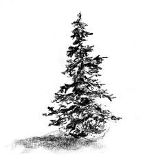 how to draw and paint evergreen trees my nature book