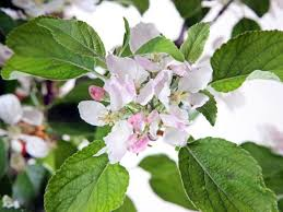 apple trees for sale choose your apple plant