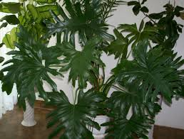 large houseplants piquant ferns along with ivy asparagus foxtail fear densiflorus is