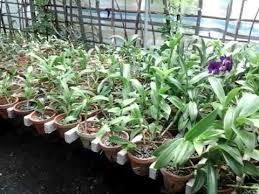 orchid plants orchid plants with flowers for sale