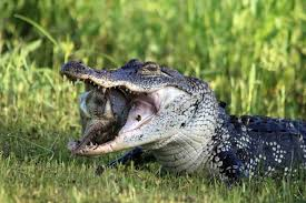 images of white alligator hd wallpaper sc