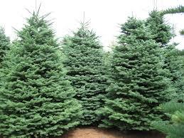 trees planet abies procera noble fir red fir